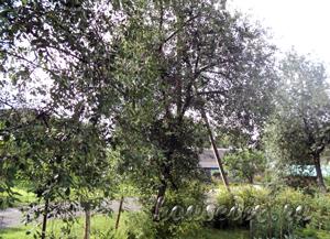 Высокая вишня