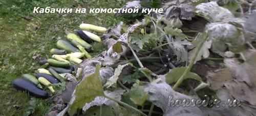 Кабачки на компостной куче